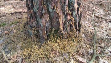 """Tysiące larw wspinają się na drzewo. """"Katastrofa"""""""