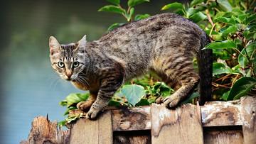 """Dwa koty zakażone koronawirusem. """"To pierwsze zainfekowane zwierzęta domowe w USA"""""""