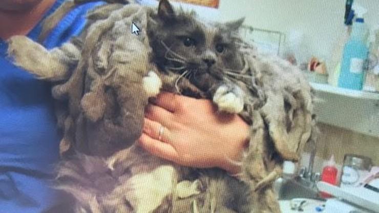 Kot plątał się w kilogramach własnej sierści. Opiekunowie schroniska myśleli, że to pies