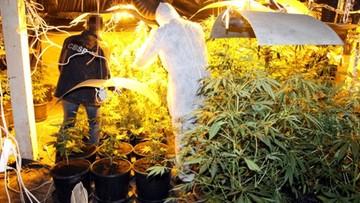 """W lesie marihuany, zasadzonym w wynajętej hali, można było zabłądzić. Interesu pilnował """"Siwy"""""""
