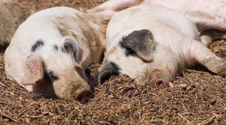 Koronawirus atakujący świnie może namnażać się w ludzkich komórkach