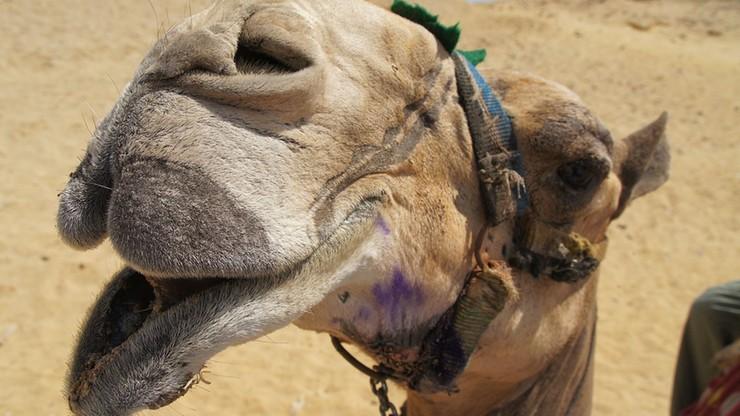 """Pracownik zoo ugryziony w twarz przez wielbłąda. """"Poważne"""" obrażenia"""