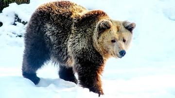 Niedźwiedź gonił narciarza na stoku. Nagrania z wyciągu [WIDEO]