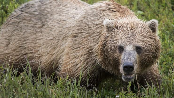 Strzelił do niedźwiedzia, a zwierzę spadło wprost na niego. Myśliwy walczy o życie