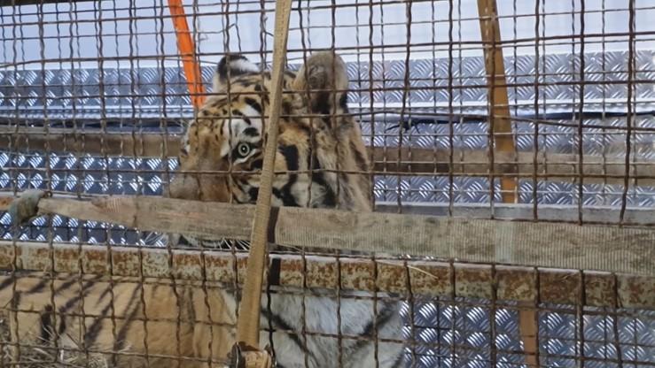 Wszystkie tygrysy żyją - podało zoo w Poznaniu. W ubezpieczeniu akcji brali udział strzelcy wyborowi