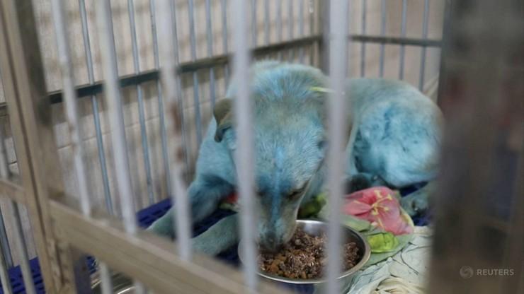 Rozwiązano zagadkę błękitnych psów w Rosji