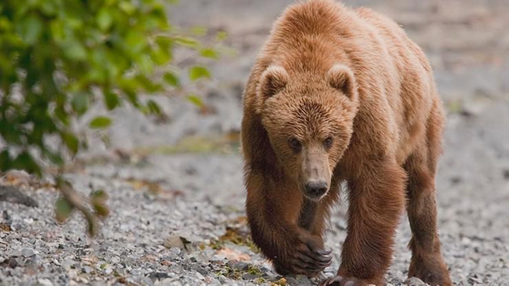Czarna. Wójt ostrzega przed niedźwiedziem. Zwierzę podchodzi do domów