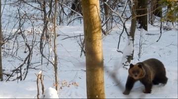 Bezsenność w Bieszczadach. Niedźwiedzica Aga grasuje w lasach