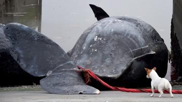 Martwe wieloryby na holenderskiej plaży