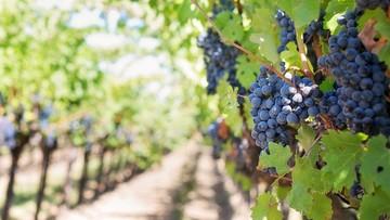 """W Apulii """"praktycznie się nie śpi"""". Plaga kradzieży winorośli, oliwek i migdałów"""