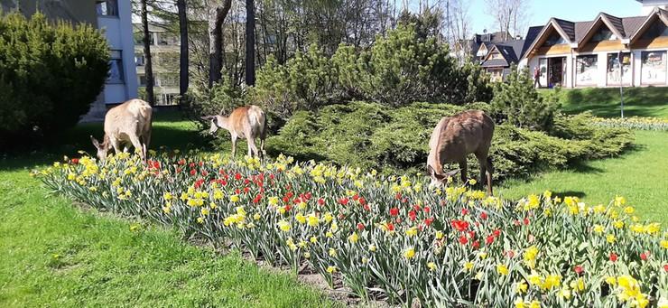 Łanie w centrum Zakopanego. Zjadły ułożony z kwiatów herb miasta