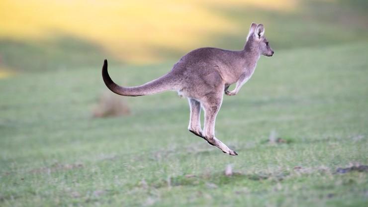 Kangury na ulicach miasta. Uciekły z zoo