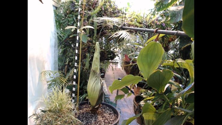 Dziwidło olbrzymie trafiło do ogrodu botanicznego przypadkiem. Teraz może zakwitnąć
