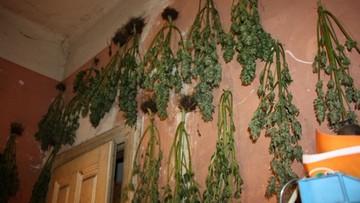 Zamiast obrazów na ścianie powiesił marihuanę [ZDJĘCIA]