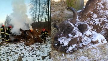 Martwa żubrzyca przy paśniku w Puszczy Białowieskiej. Jej pobratymcom ktoś spalił cztery brogi siana