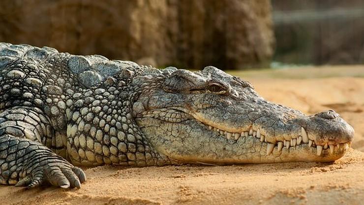 Policja wszczęła śledztwo po ugryzieniu mężczyzny przez krokodyla