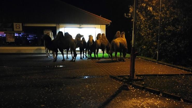 """Siedem wielbłądów na parkingu przed supermarketem. """"Czekały na najlepsze okazje"""""""