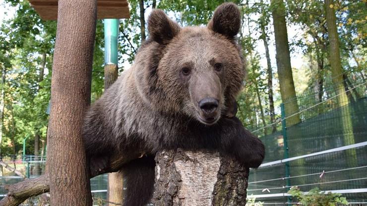 """Niedźwiedzica Cisna i inni """"dzicy"""" podopieczni poznańskiego zoo zagrożeni"""