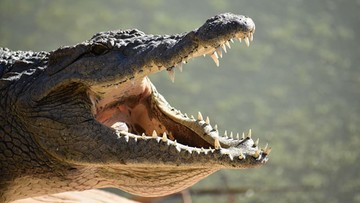 Krokodyl wydostał się z hodowli. Może być w Polsce