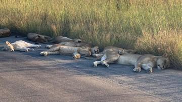 Turyści na kwarantannie, lwy na ulicy - tak zwierzęta korzystają z wolności