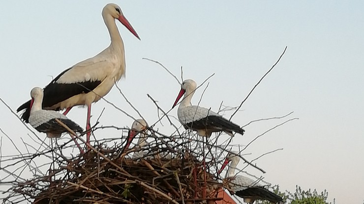 Samotny bocian w gnieździe ze sztucznymi ptakami