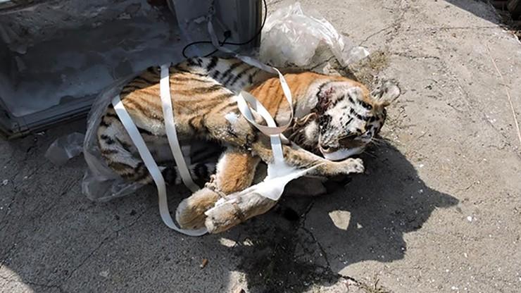 Trzymał zamrożone ciało tygrysa amurskiego. Na świecie żyje ich tylko 600 [DRASTYCZNE ZDJĘCIA]