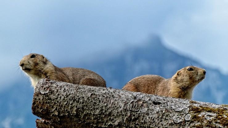 W Tatrach budzą się świstaki. Zamknięte szlaki dla narciarzy