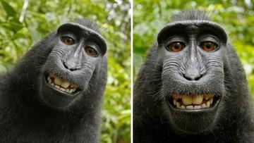 Makak zrobił sobie selfie. Walka o prawa do zdjęć trwała niemal dwa lata