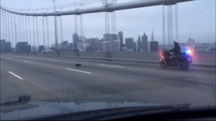 Policjant na motocyklu gonił uciekającego... psa
