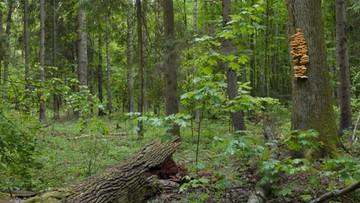 """""""Wycinki drzew nie ma"""". Lasy Państwowe o sytuacji w Puszczy Białowieskiej"""