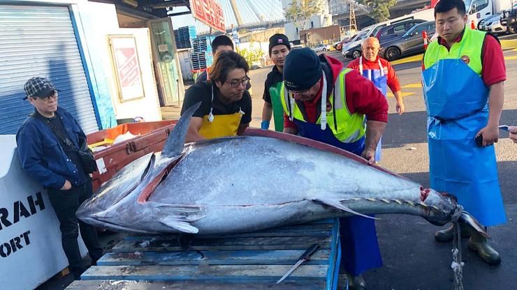 Ryba gigant. Ogromny tuńczyk złowiony u wybrzeży Australii