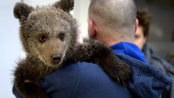 Z Bieszczad do poznańskiego zoo. Przeprowadzka niedźwiedzicy
