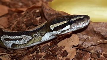 Próbowali przemycić 138 węży i sprzedać je na targach. Złapali ich w porcie