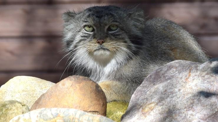 Manul stepowy uciekł z zoo. Trwają poszukiwania