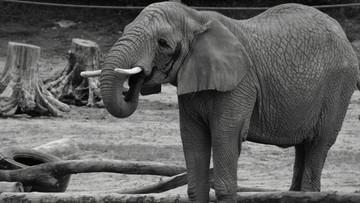 Słonica z Poznania nie żyje. Nie pomogła akcja strażaków