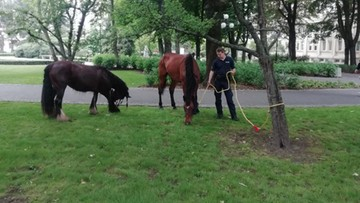 Galopujące konie w centrum królewskiego miasta. Zaskoczenie przechodniów i kierowców [WIDEO]