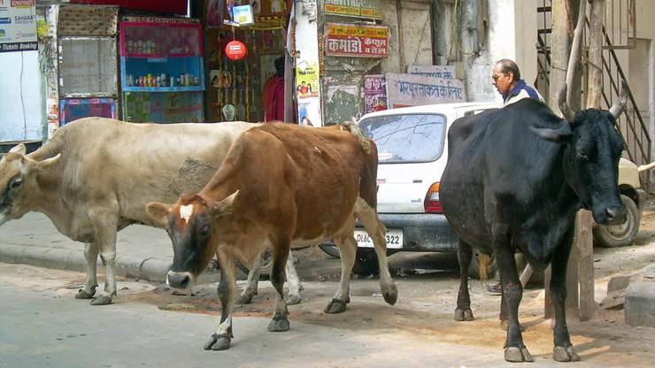 Indie: kara dożywotniego więzienia za ubój krów