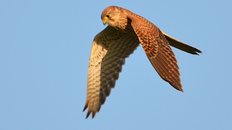 Pustułką w ekologów. Zakaz wejścia na dach resortu środowiska, bo zamieszkały tam chronione ptaki