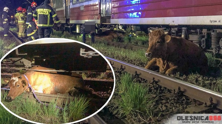 Krowy potrącone przez pociąg. Jedna utknęła pod wagonem