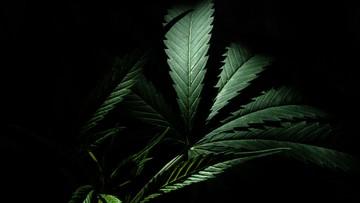 Umorzone śledztwo ws. leczenia środkami z marihuaną chorych na padaczkę dzieci