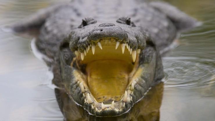 Krokodyl pożarł piłkarza!