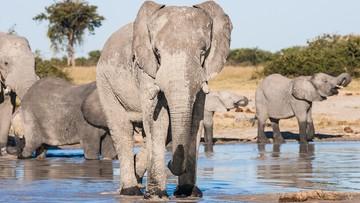 Tajemnicza śmierć setek słoni. Naukowcy szukają przyczyn