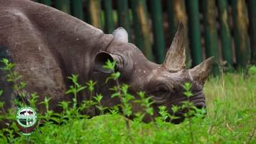 Zmarł najstarszy nosorożec na świecie. Miał 57 lat