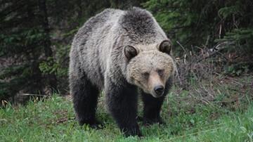 Niedźwiedź za kierownicą. Uderzył autem w skrzynkę pocztową i uciekł z miejsca zdarzenia