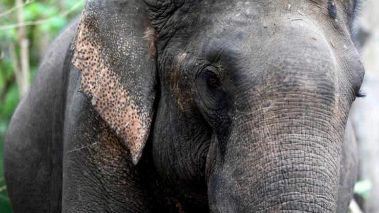 Chcieli odstraszyć słonia. Podpalone zwierzę skonało w męczarniach