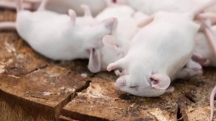Wykorzystanie zwierząt w badaniach naukowych - NIK alarmuje o braku kontroli