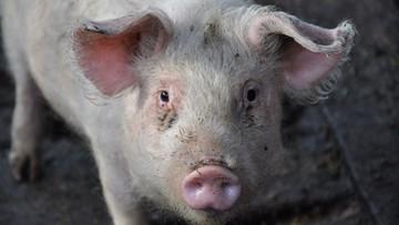 Zawiadomienia do prokuratury i ABW ws. nowych przypadków afrykańskiego pomoru świń