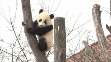 Kamuflaż i komunikacja. Naukowcy zbadali dlaczego pandy są biało-czarne