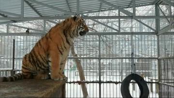 Nietypowa atrakcja rosyjskiego zoo. Tygrys, który... śpiewa