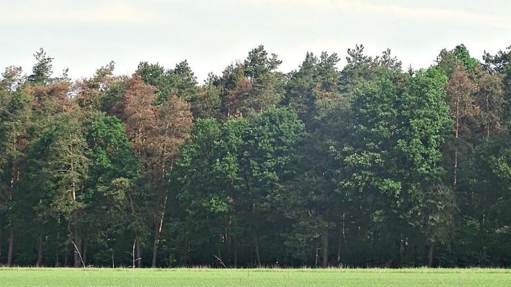 Lasy sosnowe w Polsce umierają. Powodem susza i zmiany klimatu